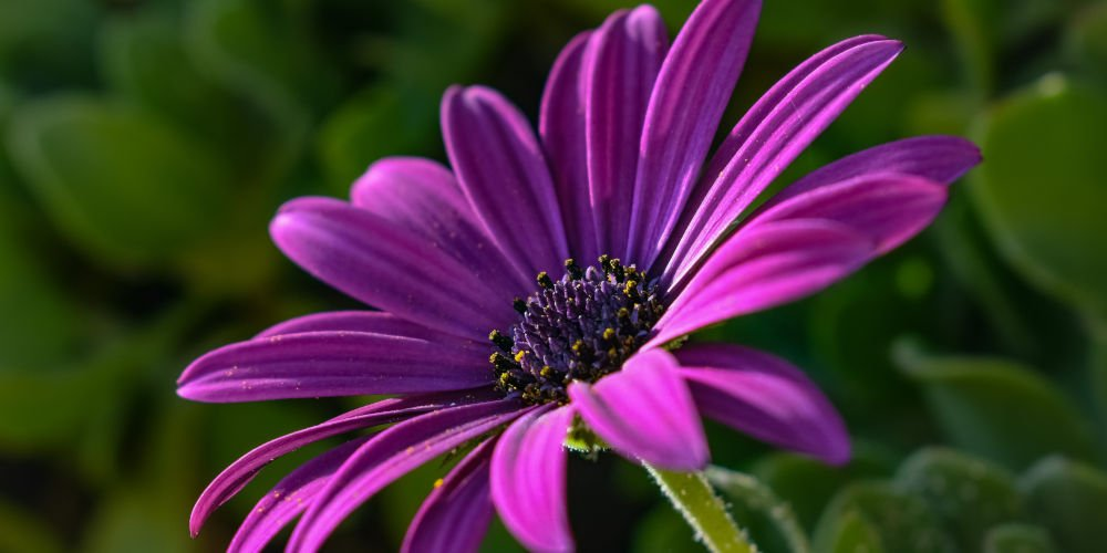 African Daisy pet freindly