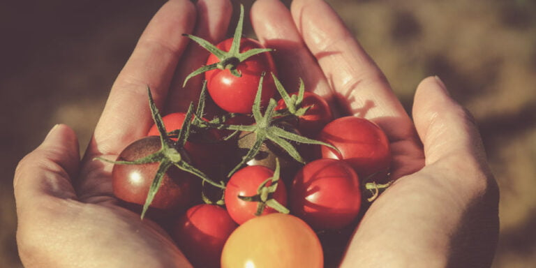 How To Grow Tomatoes - An Easy Beginner's Guide