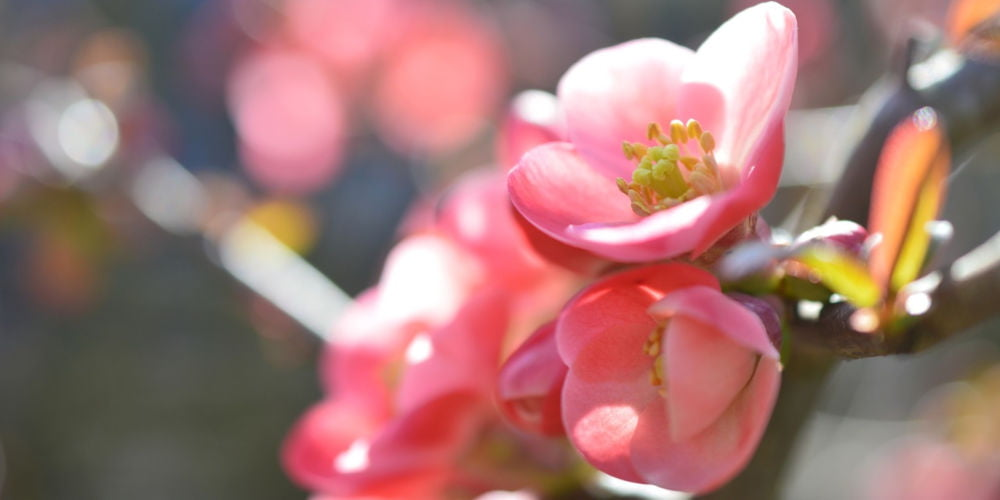 Japanese Quince - Chaenomeles