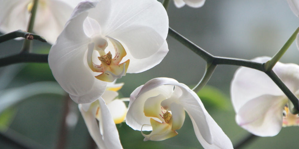 Orchids pet freindly