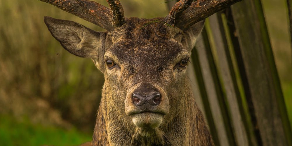 deer - pests control