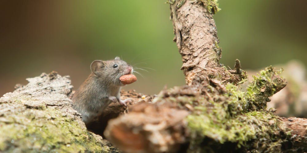rid rats in the garden